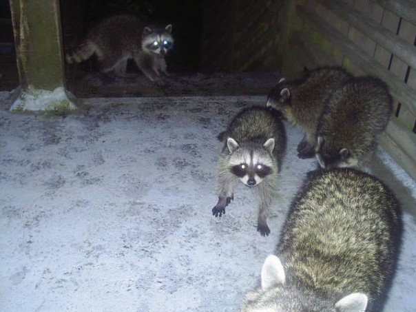 More racoons