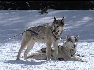 Huskies 1