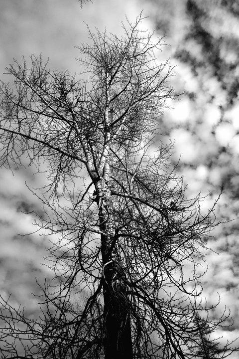 B & W Tree.