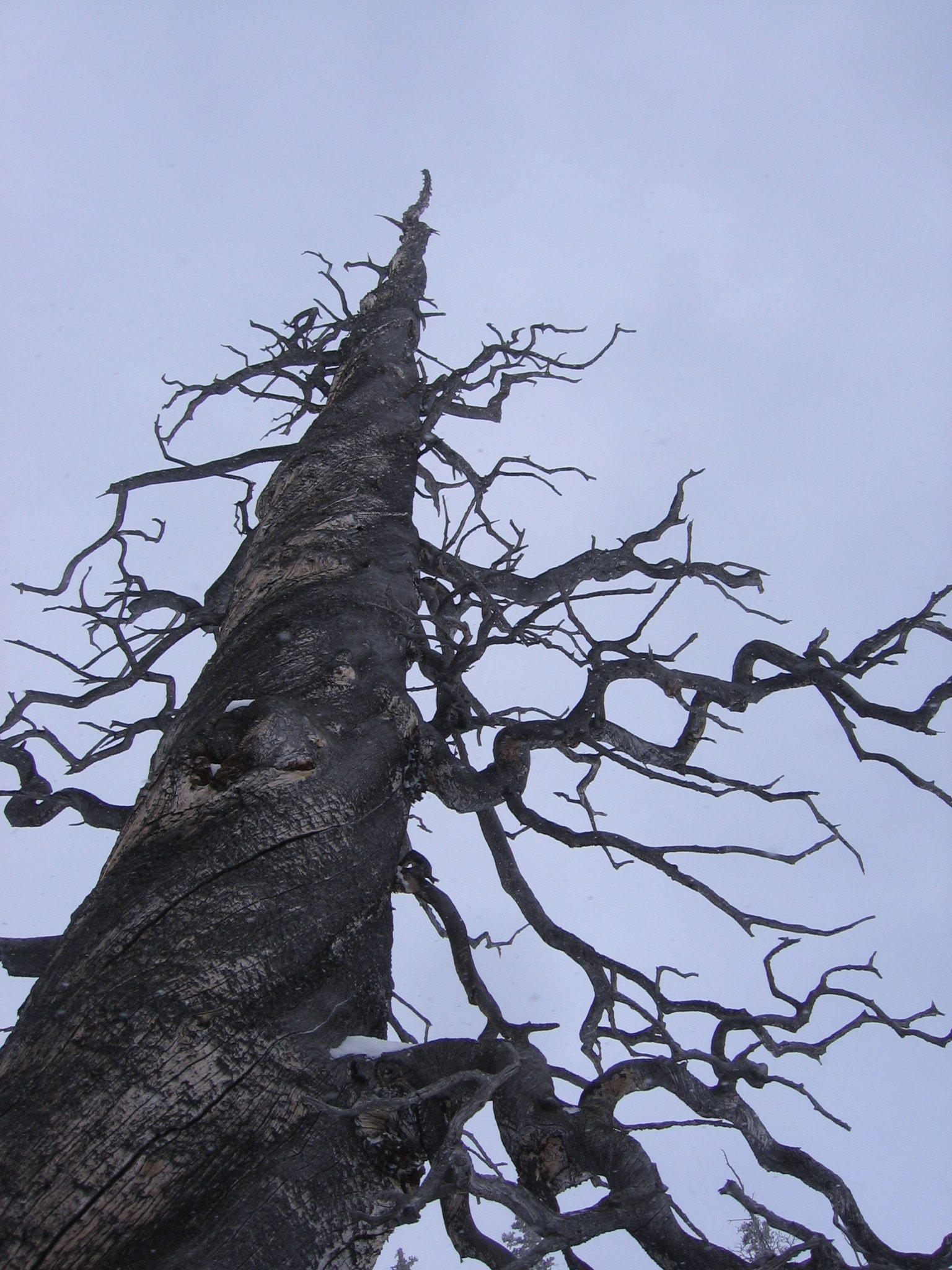Twisty Tree on Berthoud