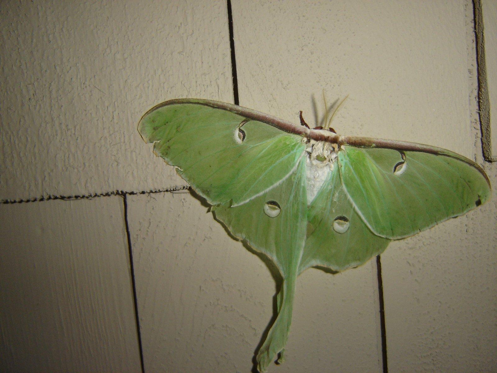 Big ass moth
