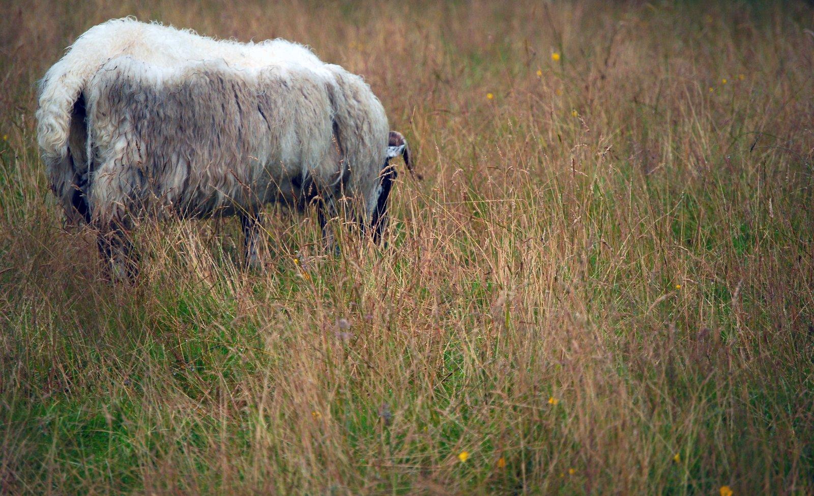 A Sheep...