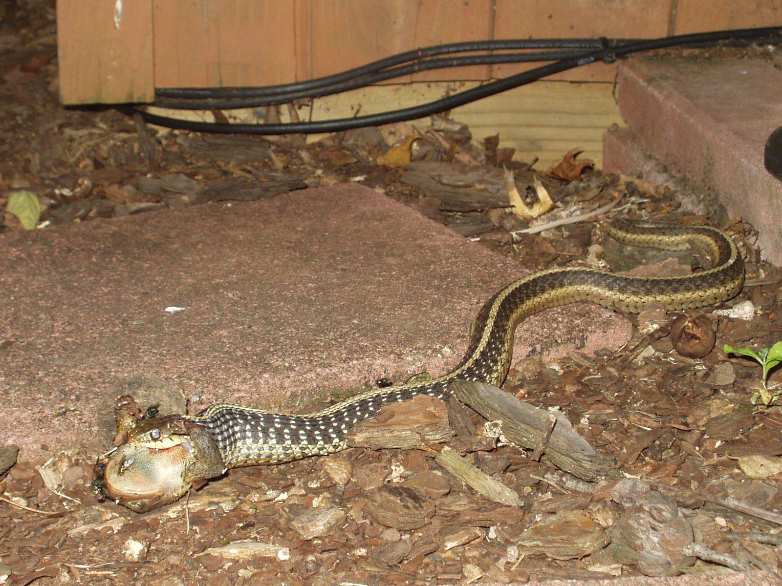 Snake eating frog - 1 of 2