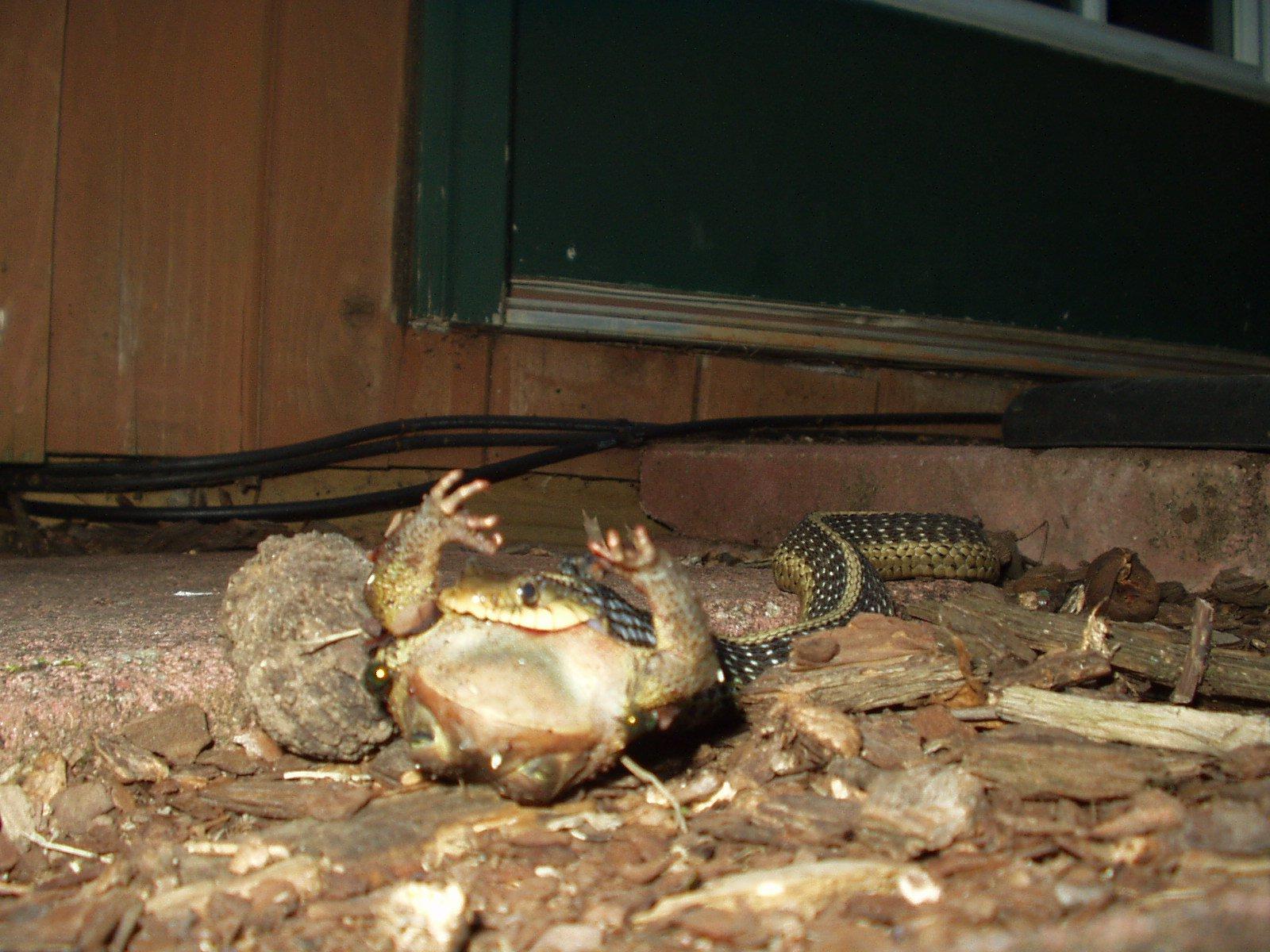 Snake munchin frog