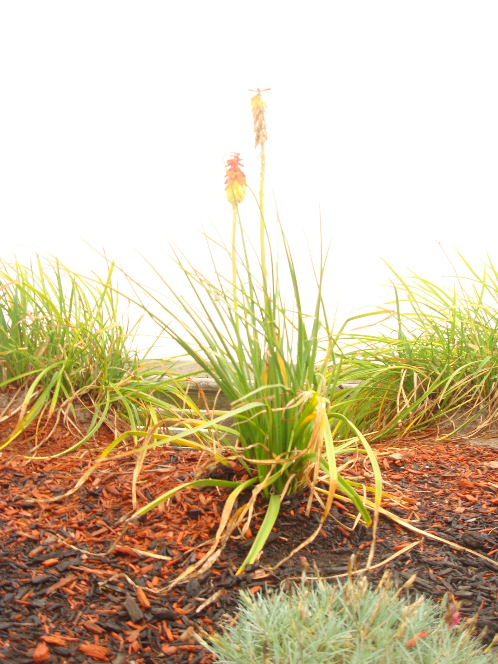 Revere beach plant
