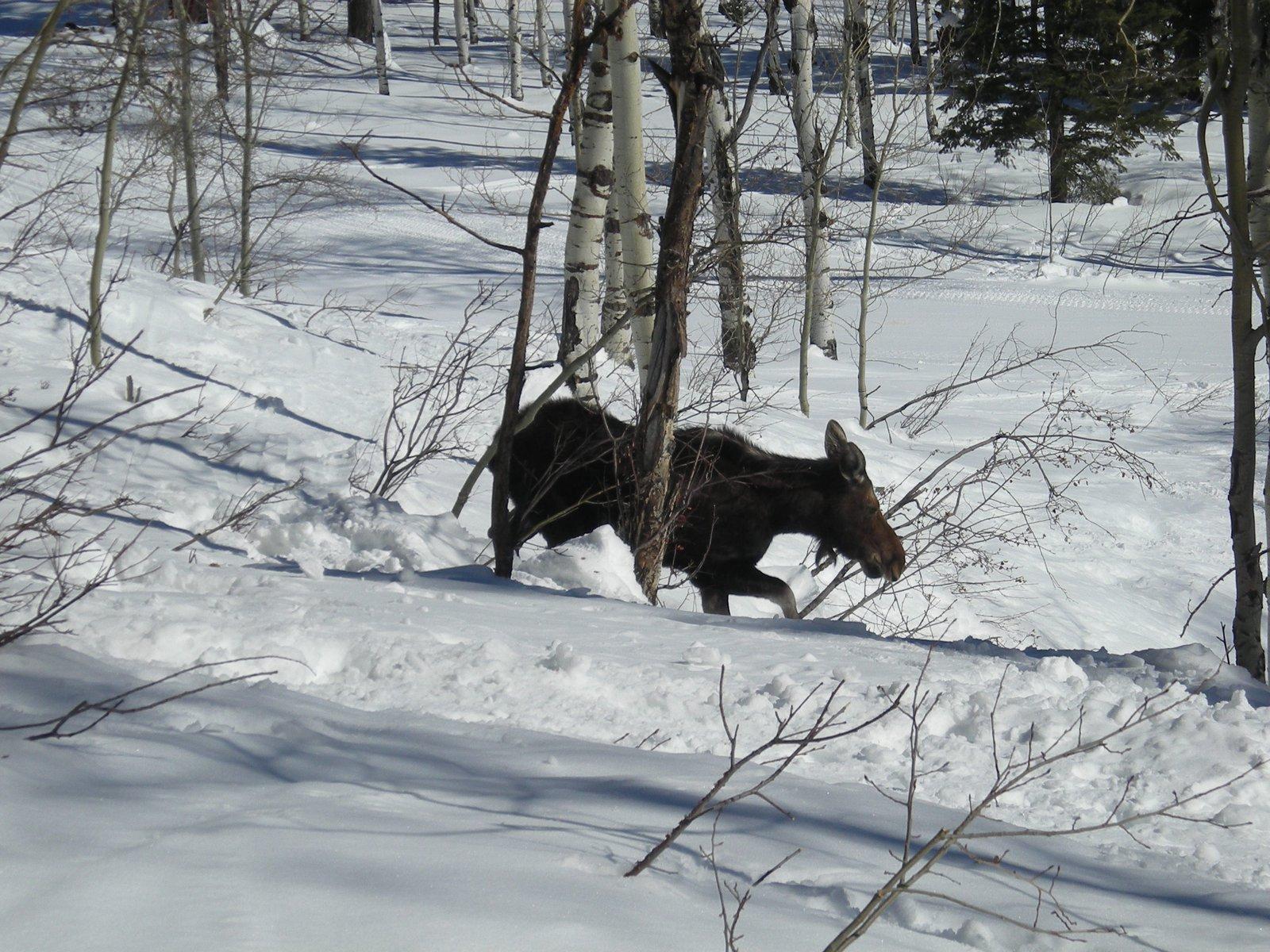 Moose skiin