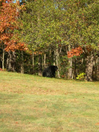 Black bear in the back yard
