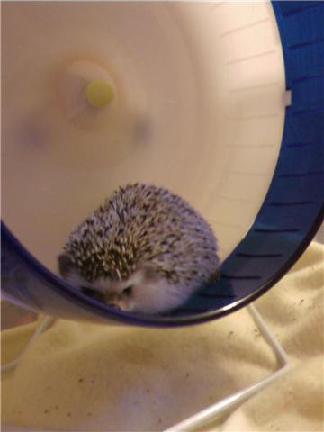 Hedgehog cardio