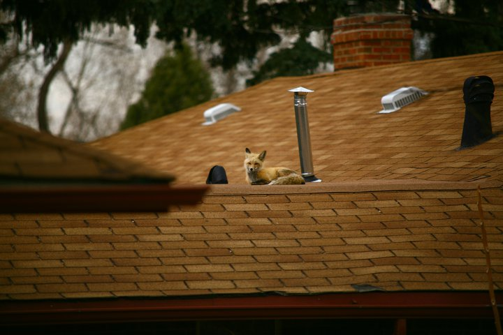 Fox on roof again