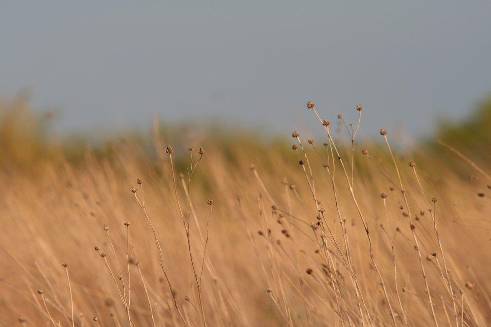Schwheat