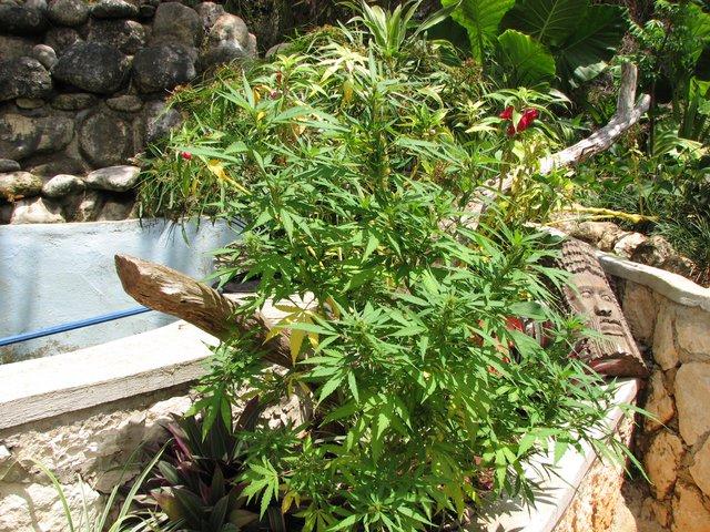 Jamaican Cannabis plant