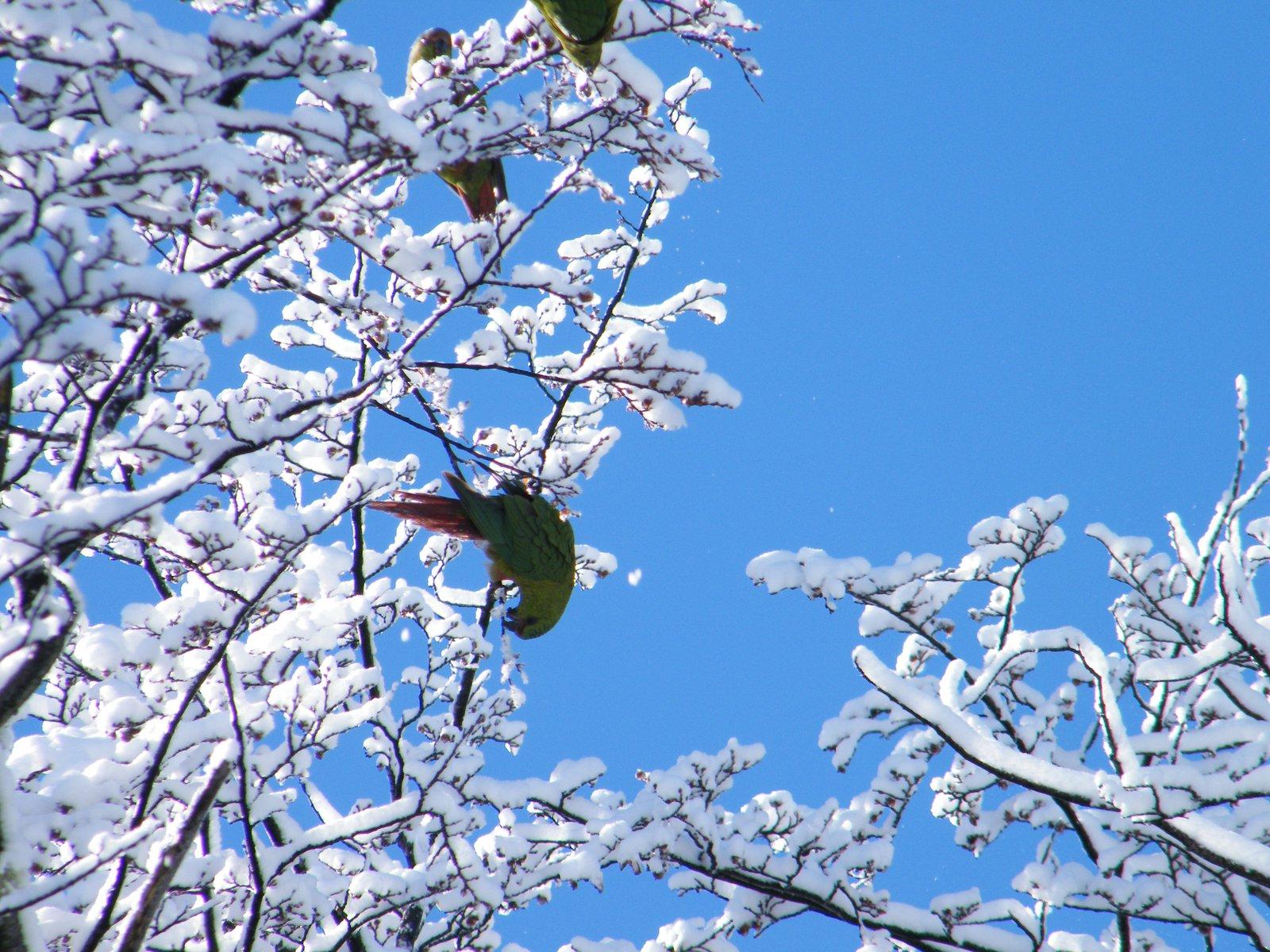 Snow parrots!
