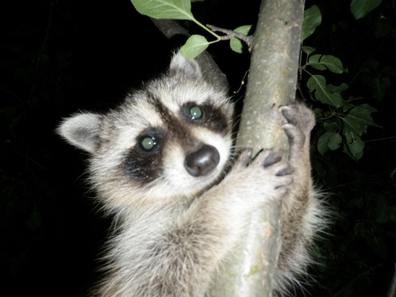 Rocky the Racoon