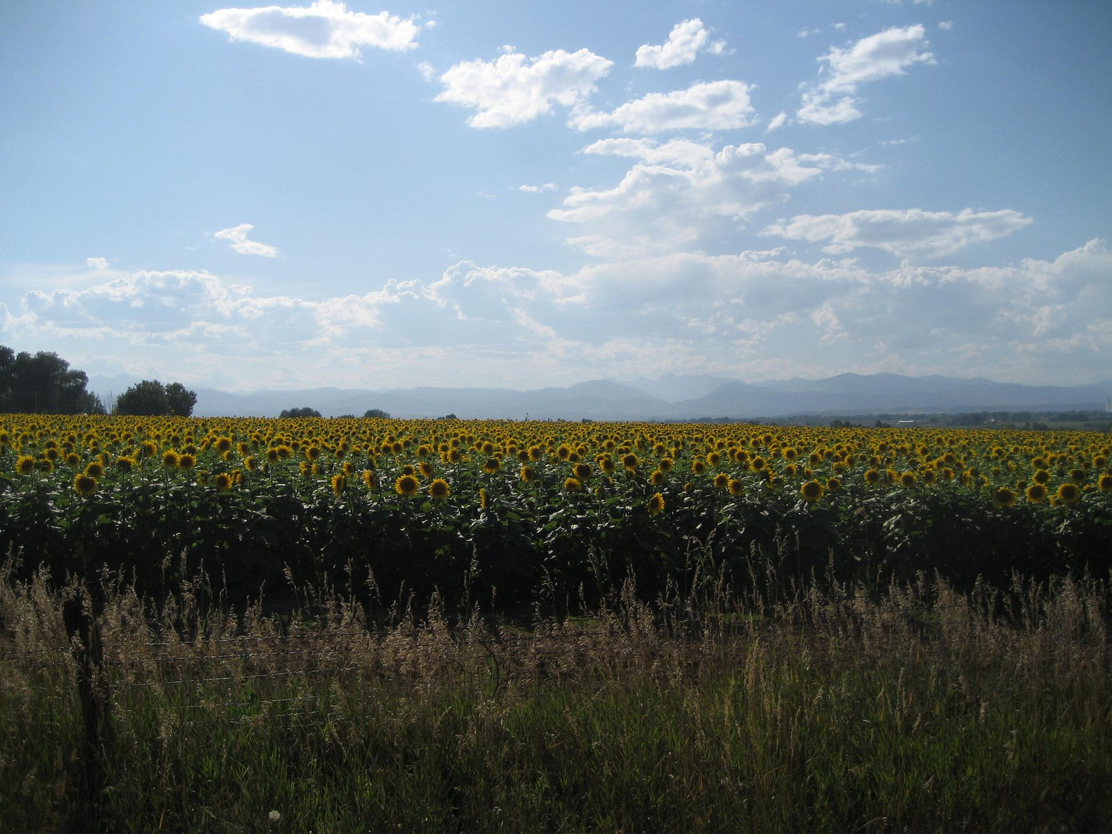 Sunflowers outside of Fort Collins