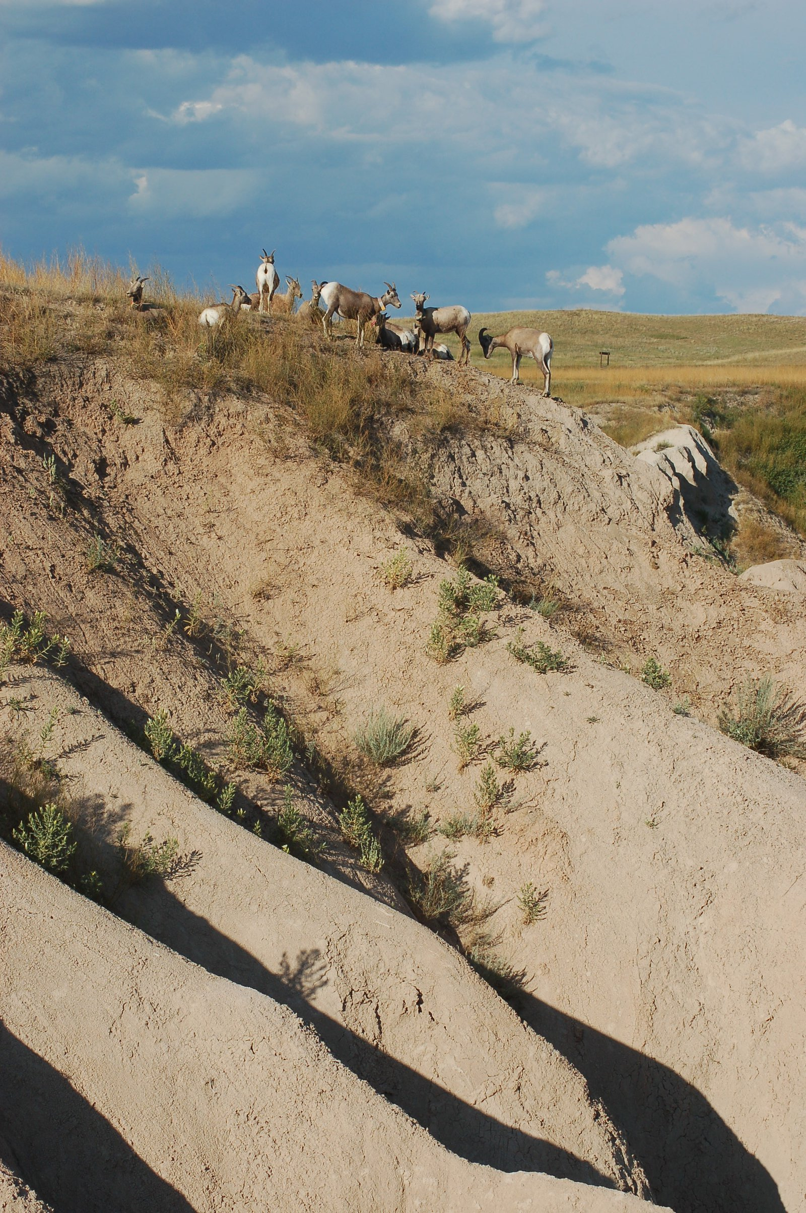 Goats in the badlands