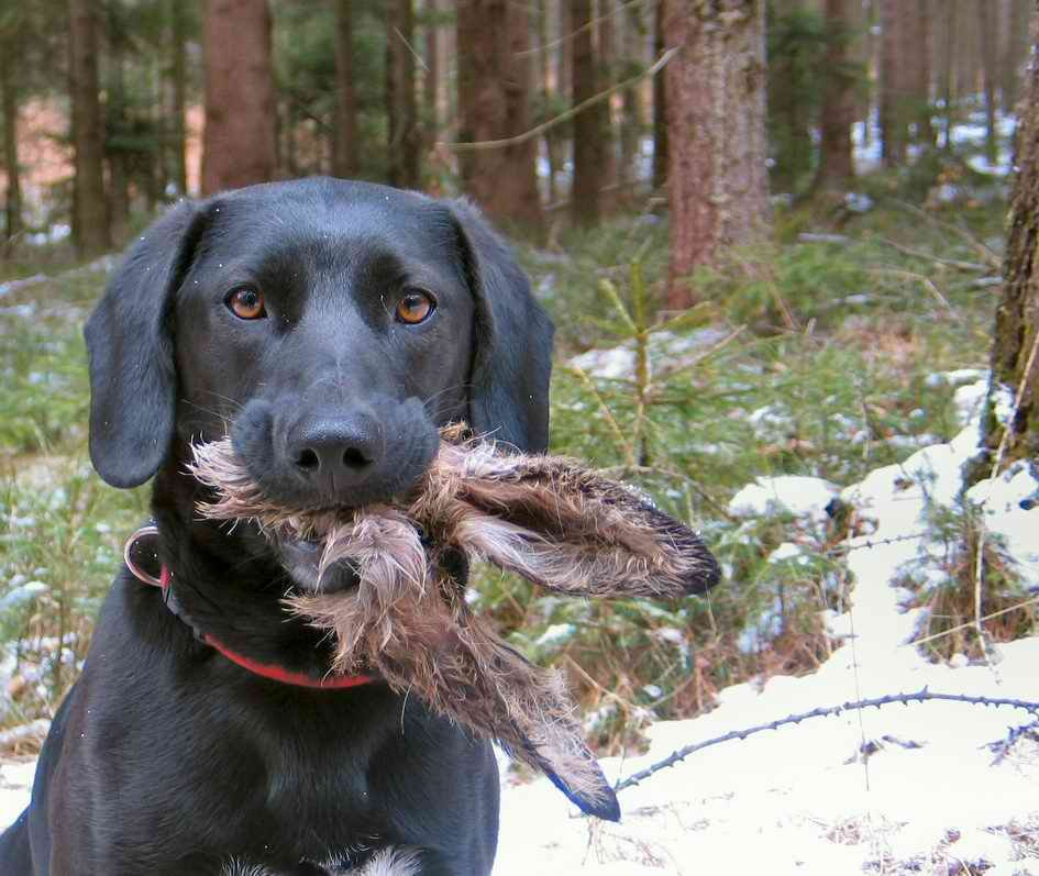 Dog eats rabbit