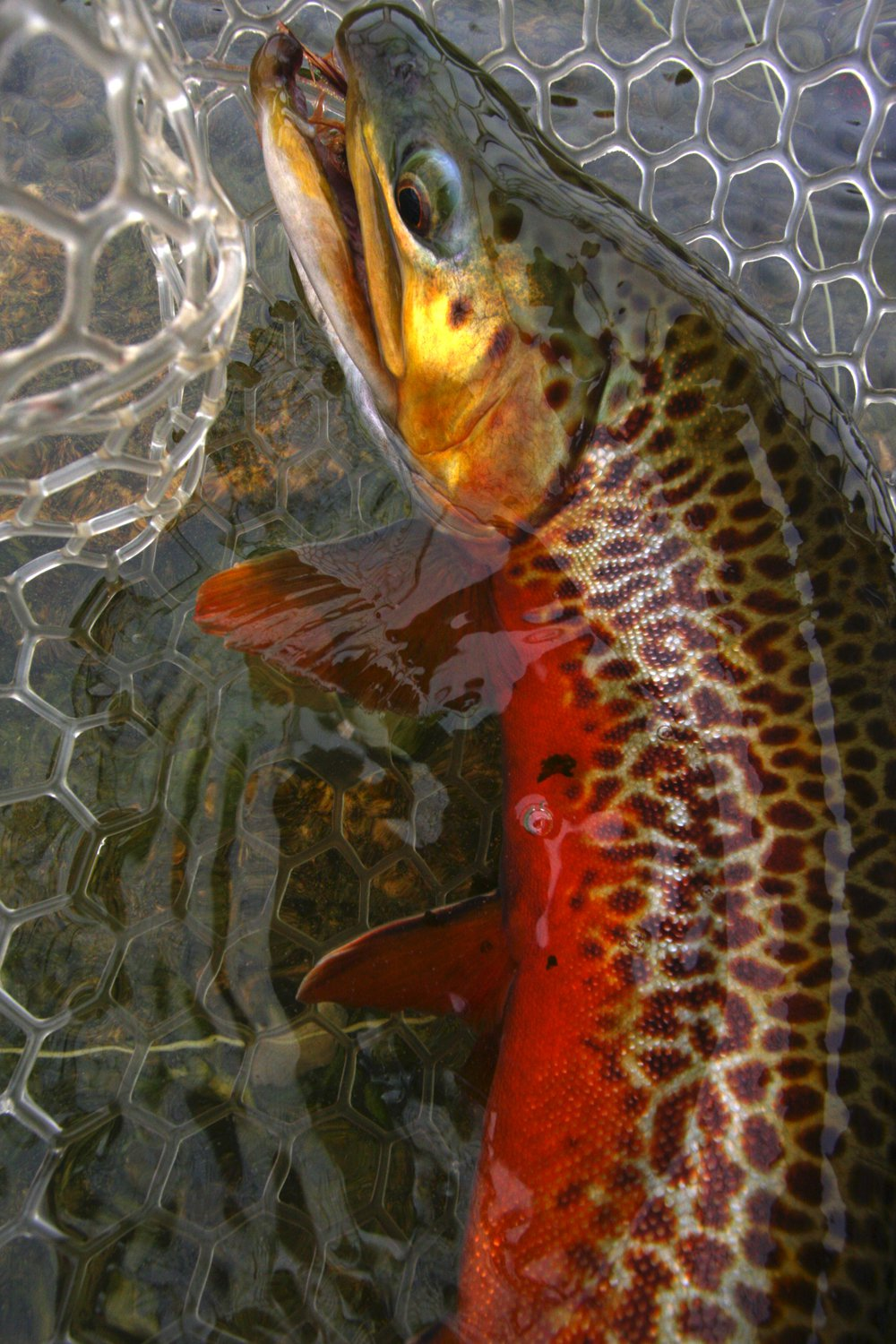 Tiger trout for thread