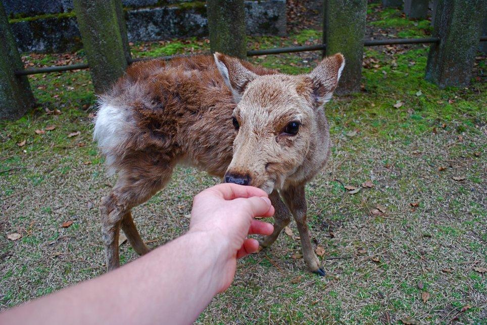 Feeding a deer in Japan