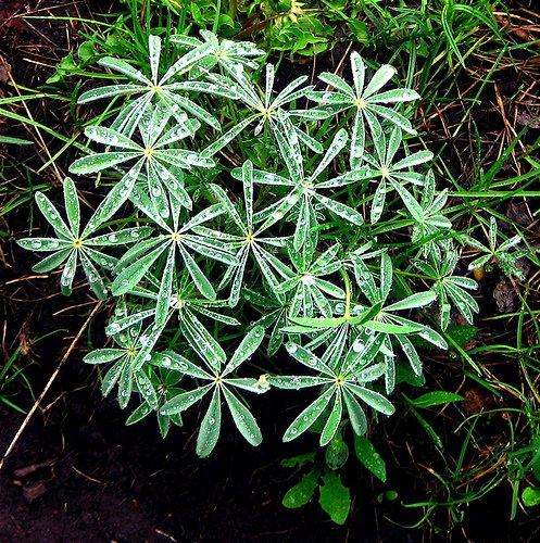 Teh plant