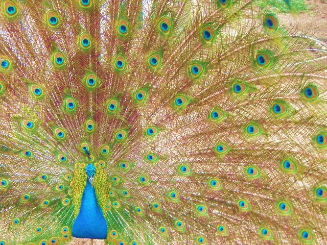 Peacock, Billings Zoo