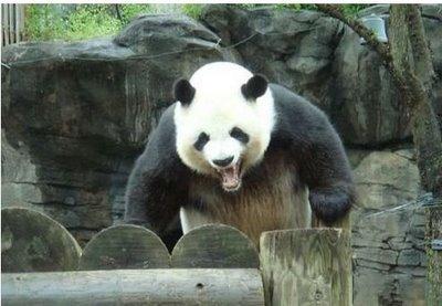 Panda Lulz