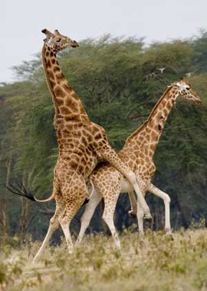 Pretty cool giraffes