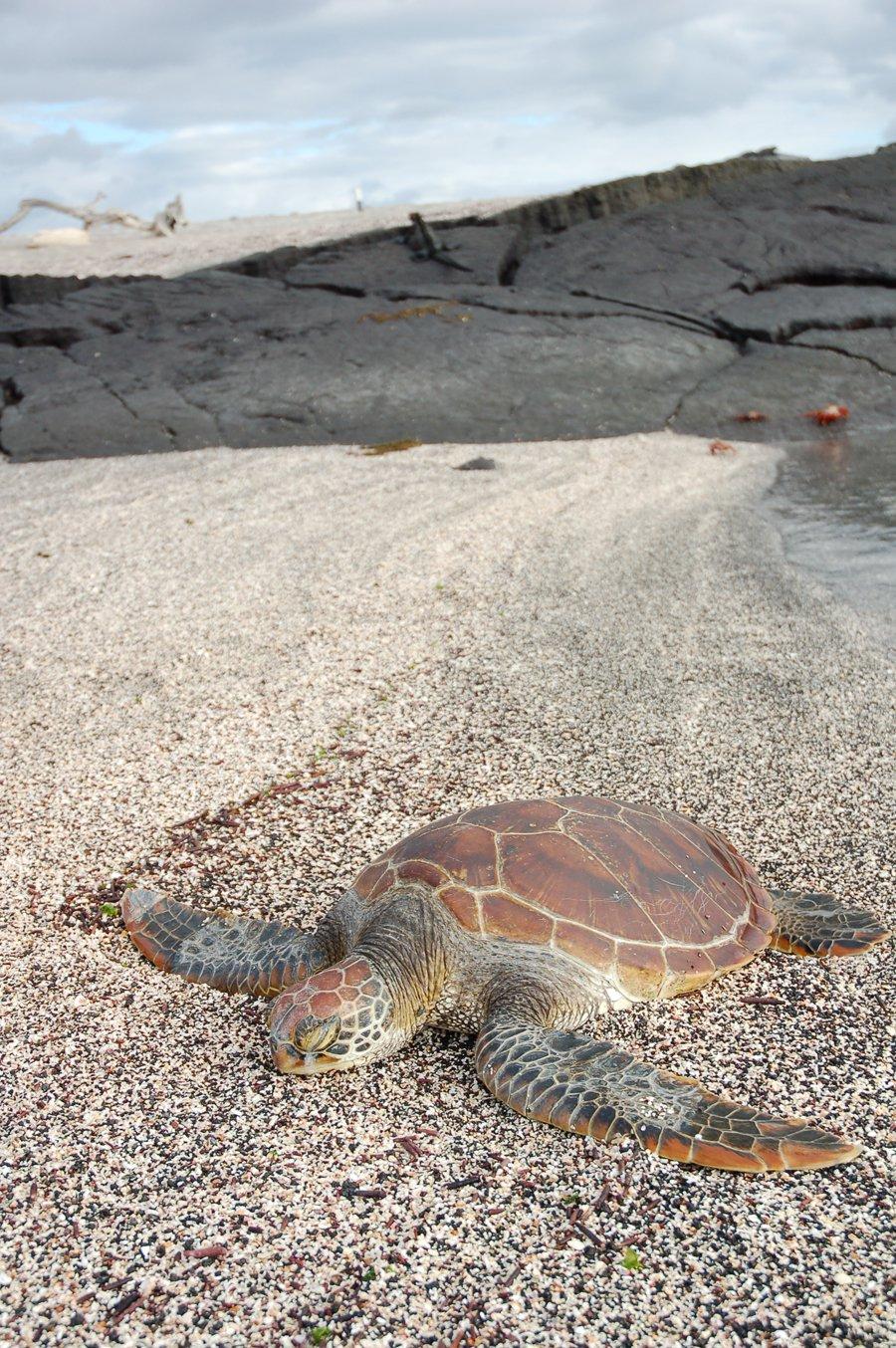 Turtle laid back