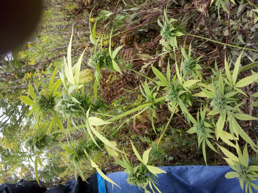 Kush Plant!