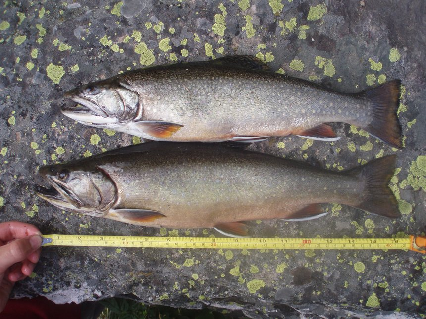 Giant brookies