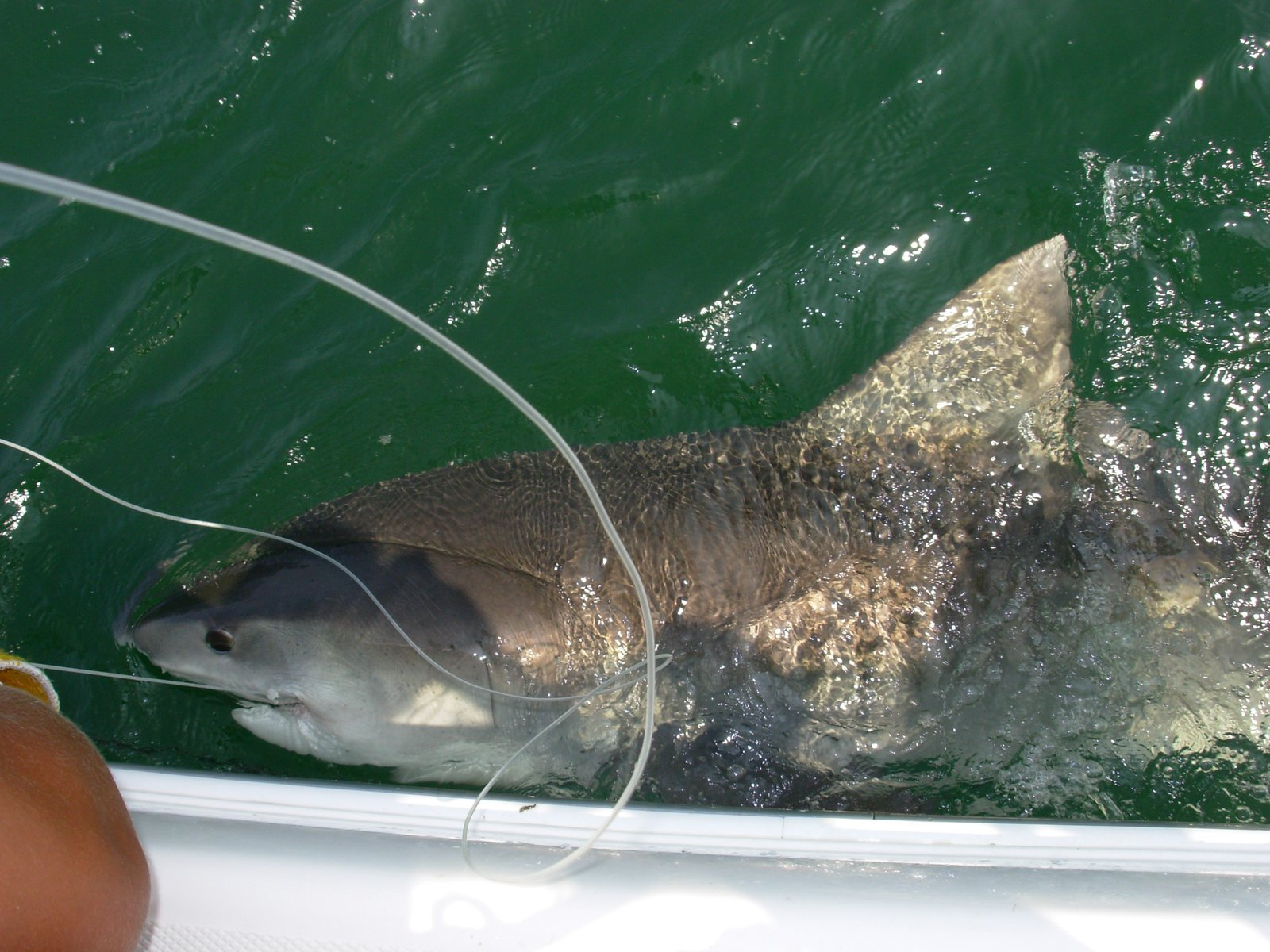 10ft 350lb Tiger Shark
