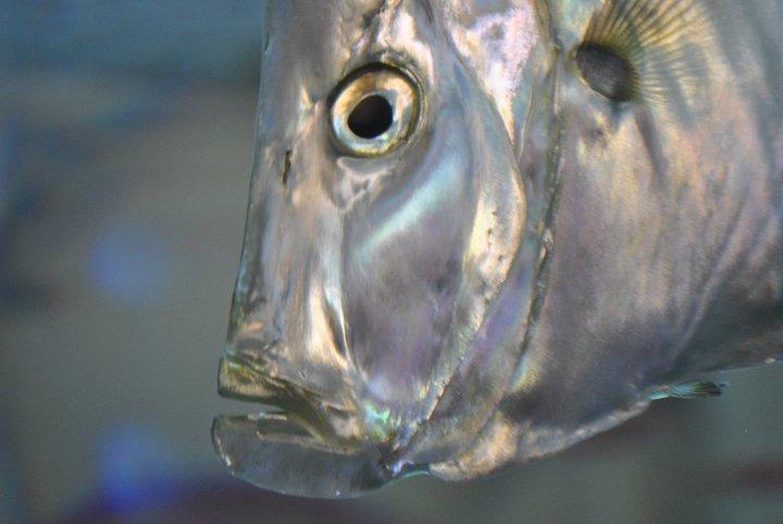 Weird looking fish.