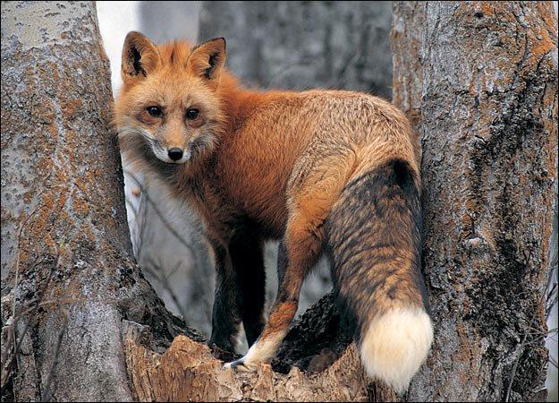 fox for thread
