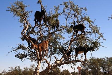 tree_goats3.jpg