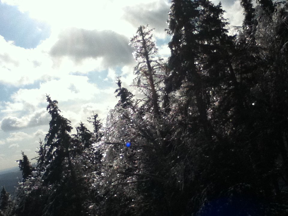 Iced over trees.