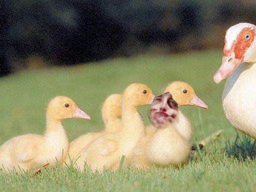 wallisch duck