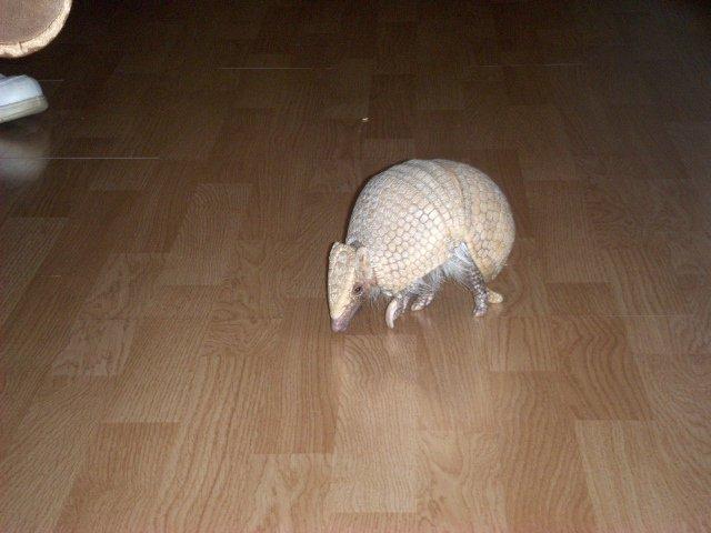random armadillo