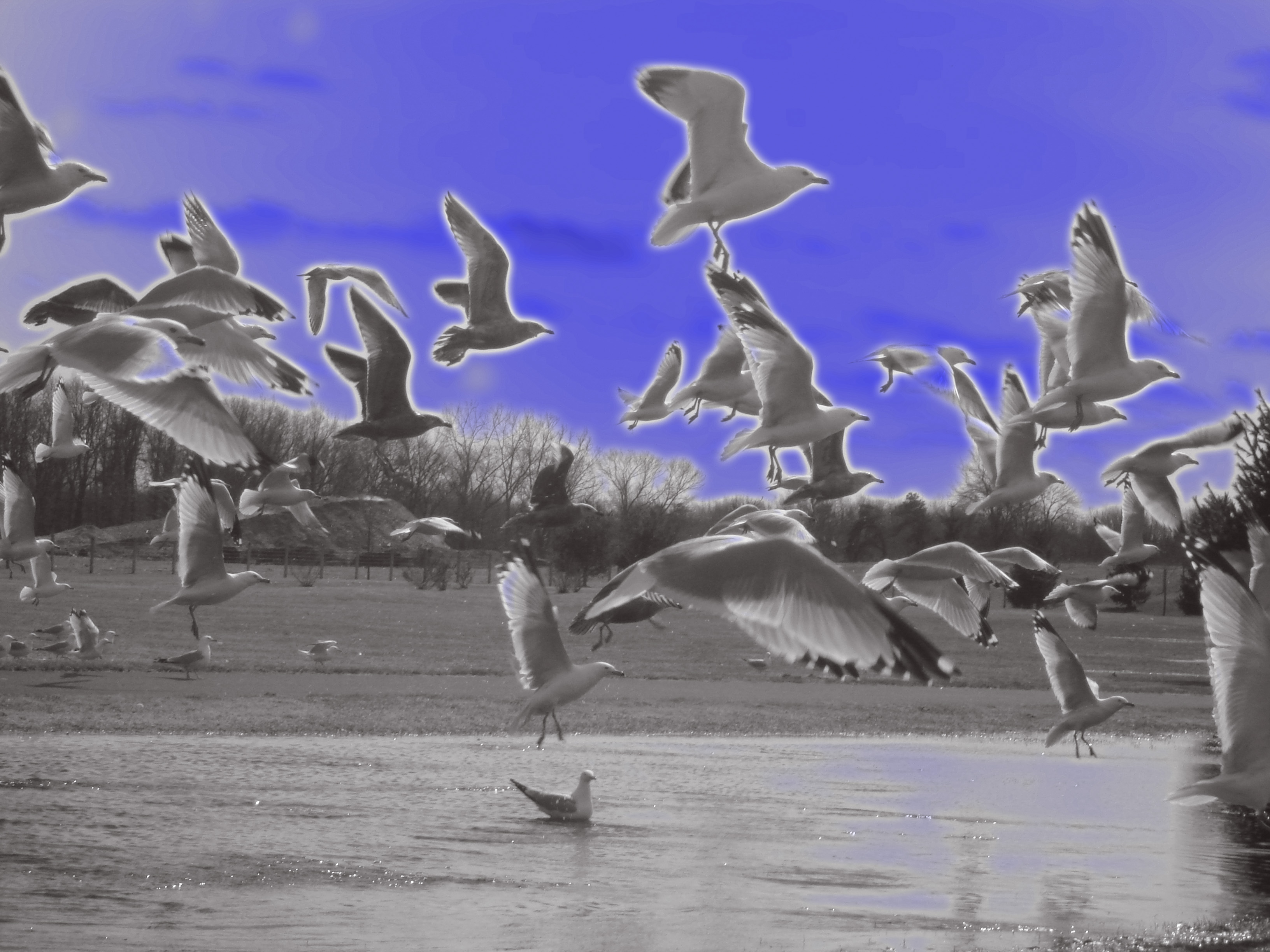 gulls on the fly