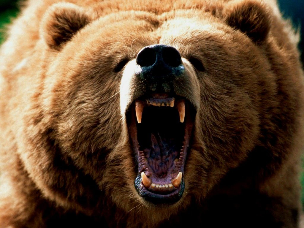 grizzly-bear-