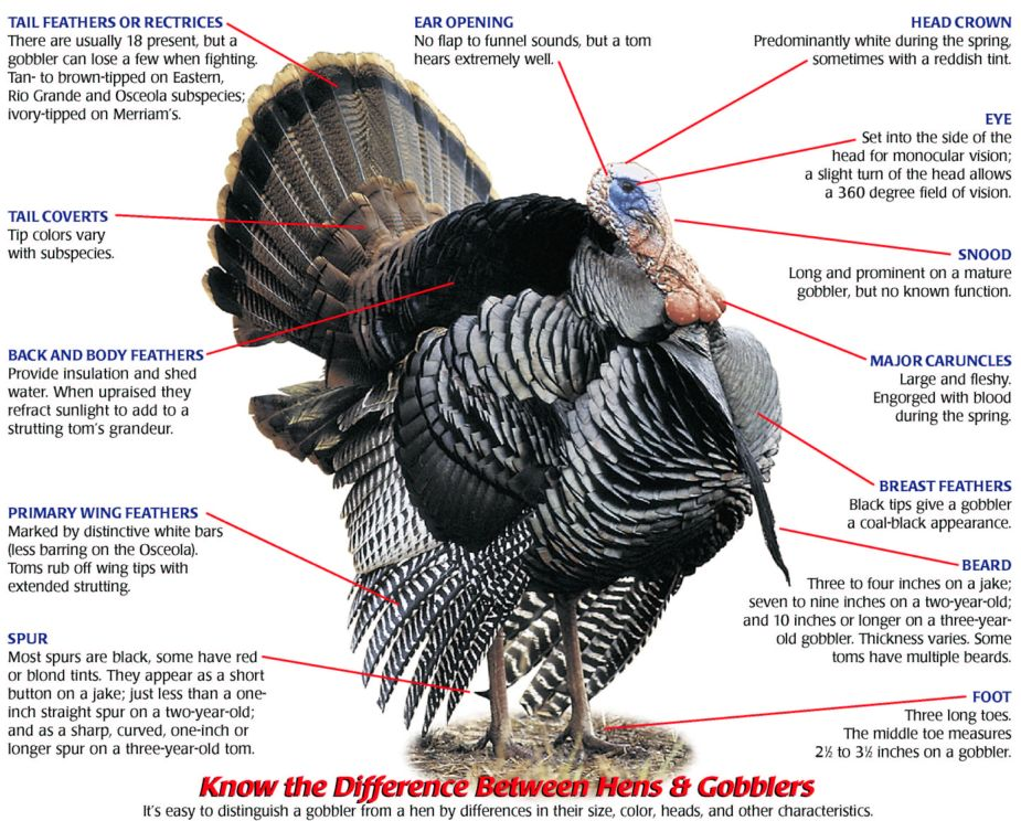 how to carve a turkey with waka flocka non ski gabber  : turkey parts diagram - findchart.co