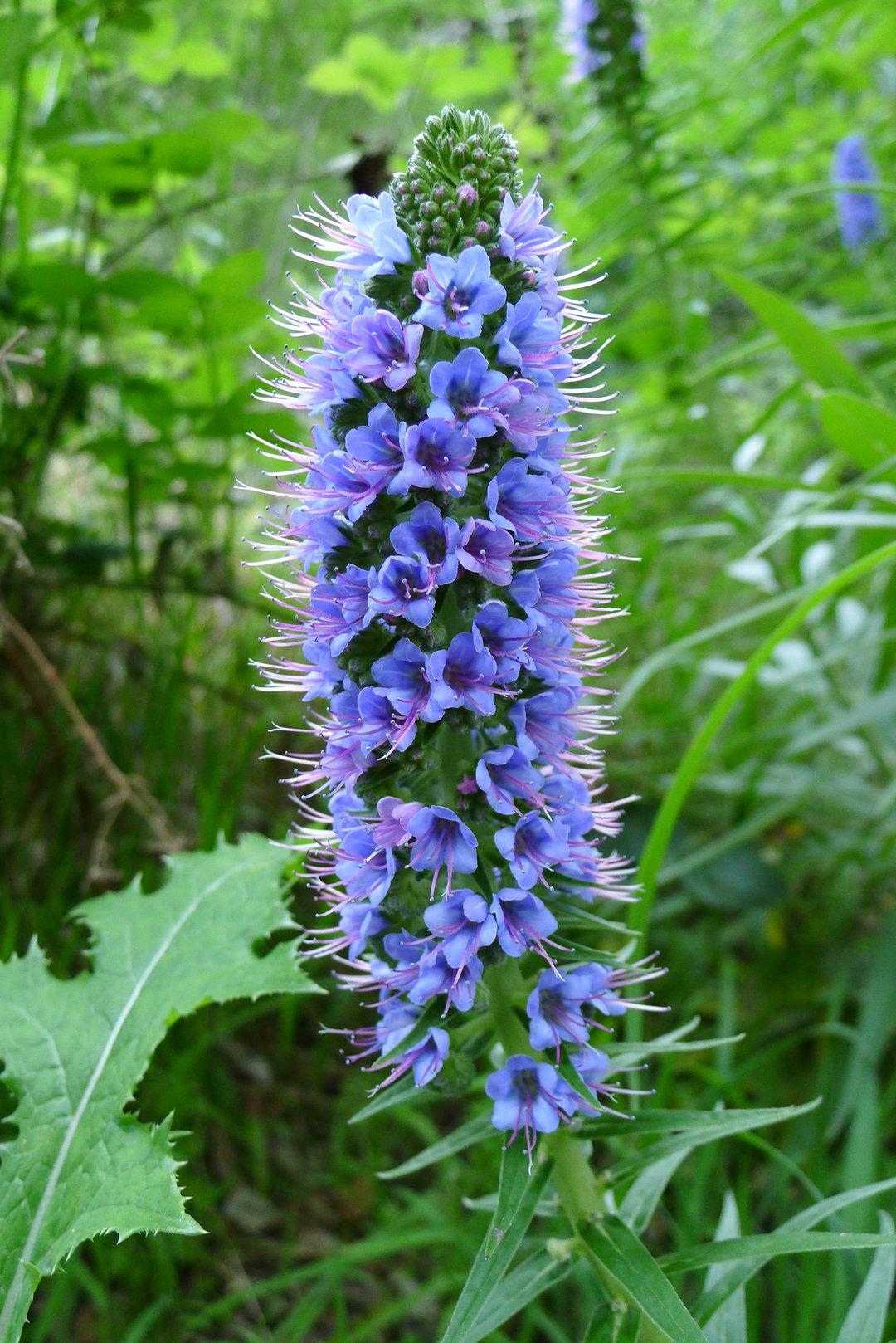 Echium Flowers
