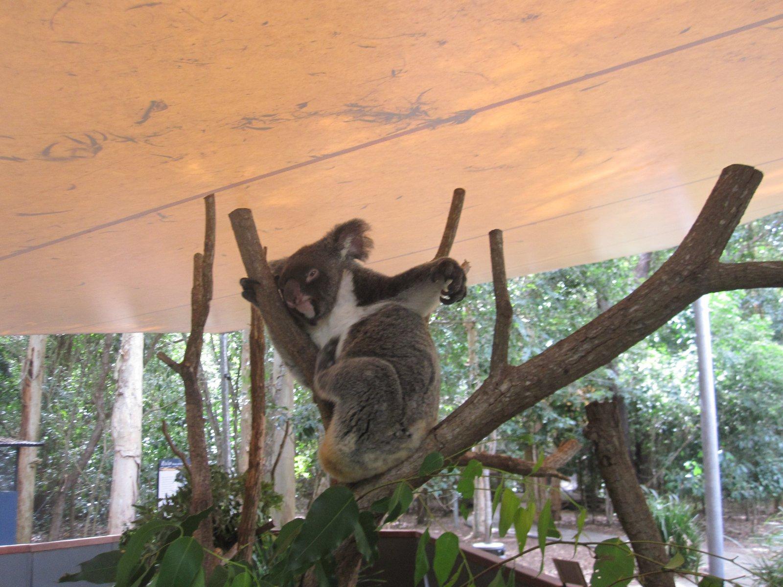 Koala Shifty!