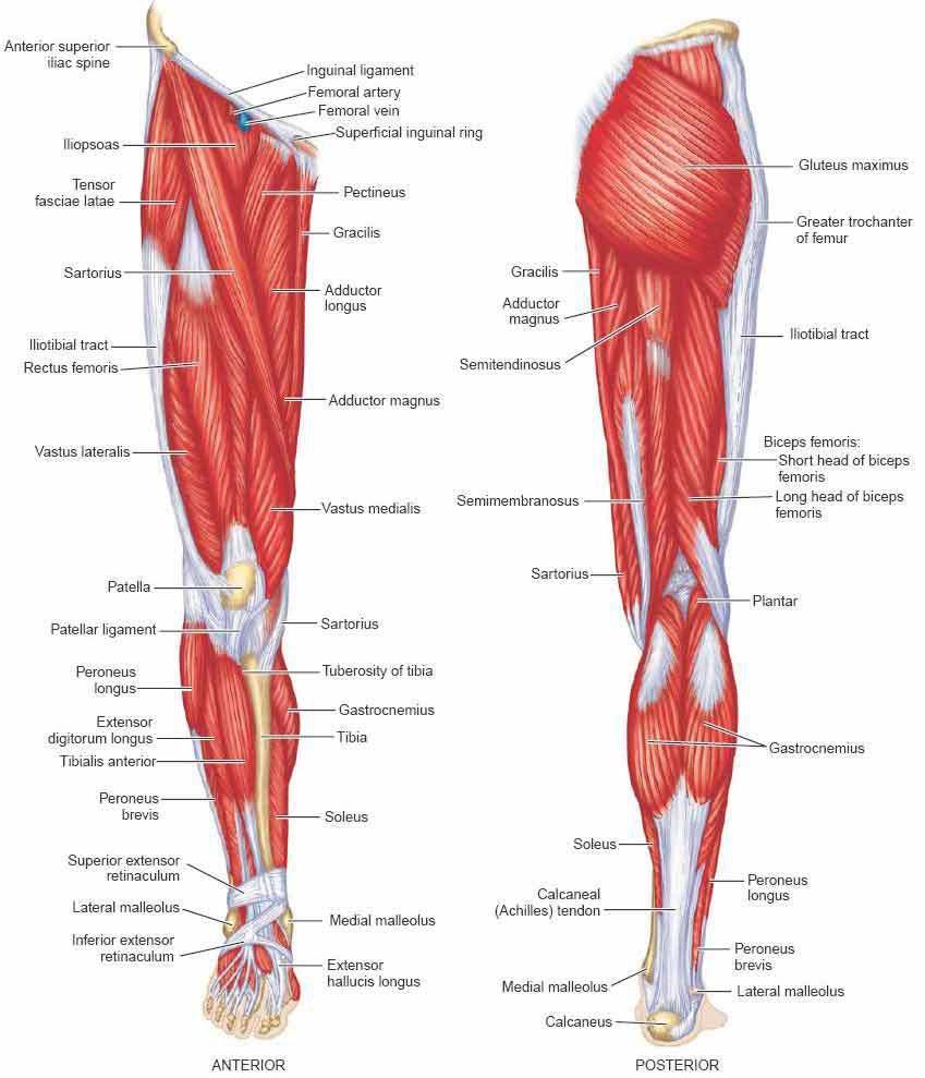 lower leg muscle diagram
